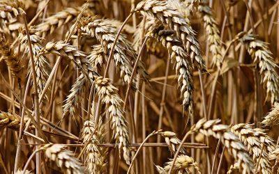 Prognoza spadku eksportu zbóż