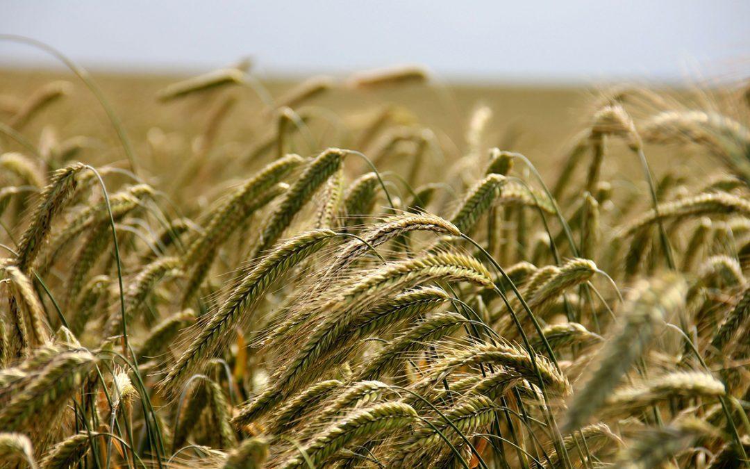 Rekordowe zbiory pszenicy