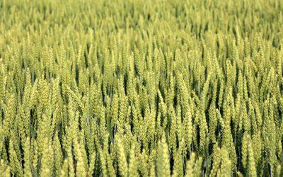 Ukraina ma rekordowe zbiory zbóż